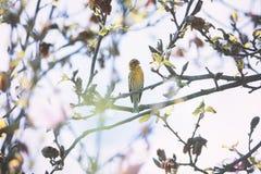 Free Small Yellow Bird On Blossom Tree Closeup Royalty Free Stock Photography - 183098777