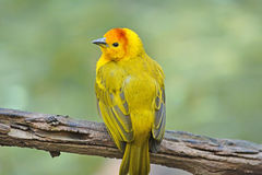 Small yellow bird Stock Images