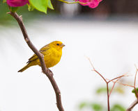 Small yellow bird on tree branch with thorns and pink flowers. Bird kwon as canario da terra verdadeiro in Brazil stock photography