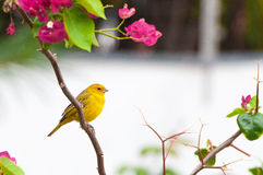 Small yellow bird on tree branch with thorns and pink flowers Stock Photo