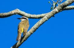 Small yellow bird on the tree Royalty Free Stock Photos