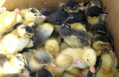 Small yellow and black ducklings. For sale Stock Image