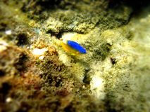 Small yellow and blue fish. Near rocks underwater in Panama City Beach, Florida Stock Photos