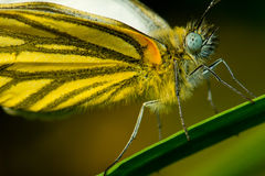 Macro of Pieris melete (Butterfly) Royalty Free Stock Photos