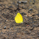 Small yellow butterfly. On the road Royalty Free Stock Photos