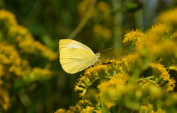 Small yellow Butterfly Royalty Free Stock Photos