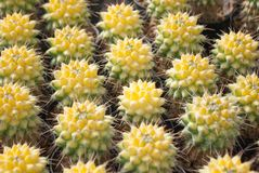 Small yellow cactus selective focus in flowerpot houseplant stock photography