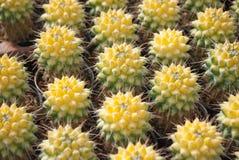Small yellow cactus selective focus in flowerpot houseplant royalty free stock photos