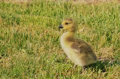 Small yellow canadian goose chic standing in the green grass. Closeup view. stock image
