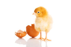 Small yellow chick with egg. Royalty Free Stock Image