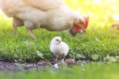 A small yellow chick walks across the grass Stock Photo