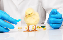 Small yellow chicken getting pill from veterinarians hand Stock Photography