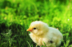 Small yellow chicken in a green grass Royalty Free Stock Photos