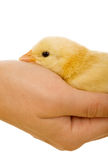 Small yellow chicken in hand - closeup Royalty Free Stock Photo