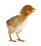 Small yellow chicken isolated on white Stock Photo