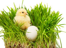 Small yellow chicken near white chicken egg in green grass Royalty Free Stock Photo