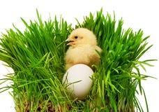 Small yellow chicken near white chicken egg in green grass Stock Photos