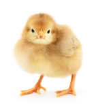 Small yellow chicken Royalty Free Stock Image