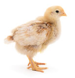 Small yellow chicken Stock Images
