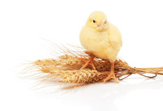Small yellow chicken standing on bunch of wheat Stock Photo