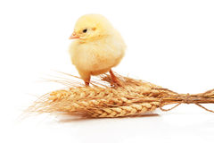 Small yellow chicken standing on bunch of wheat Stock Images