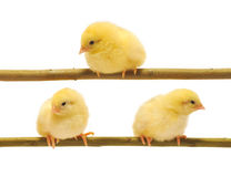Small yellow chickens. Who sits on a branch Stock Image