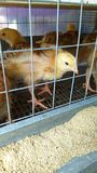 Small yellow chicks in a metal cage stock image