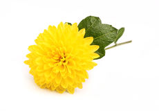 Small yellow chrysanthemum on a branch. Stock Images