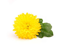 Small yellow chrysanthemum with leaf. Royalty Free Stock Photography