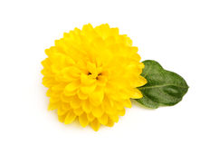 Small yellow chrysanthemum with leaf. Royalty Free Stock Photos