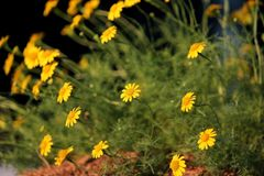 Small yellow dahlberg daisy flower blooming. Golden fleece or thymophylla tenuiloba, small yellow dahlberg daisy flower blooming Royalty Free Stock Photography