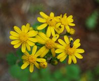 Small yellow daisy Flowers Stock Image