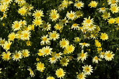 Small Yellow Daisy-type Flowers Stock Photo