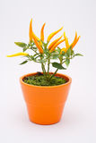 Small yellow decorative chili plant Royalty Free Stock Images