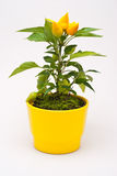 Small yellow decorative peppers Royalty Free Stock Image