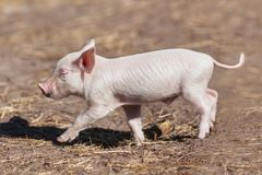 Small yellow earth pig on farm. White little piglet. Symbol of the Chinese New Year. Piglet walking on the ground. Cute animal. Baby pig walk on earth royalty free stock images