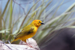 Small yellow finch. A small yellow finch on a rock Royalty Free Stock Images
