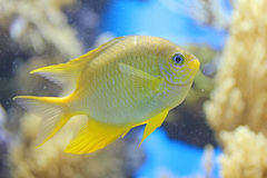 Small yellow fish Stock Photos
