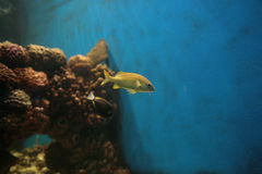 Small yellow fish. In aquarium Stock Photography