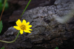 Small Yellow Flower. A small yellow flower in a tropical forest, background is a piece of wood Stock Image