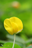 Small Yellow flower (Arachis duranensis). Isolated yellow flower, very small and cute, captured under natural environment with green background. A close up of Stock Images