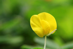 Small Yellow flower (Arachis duranensis). Isolated yellow flower, very small and cute, captured under natural environment with green background. A close up of Royalty Free Stock Image