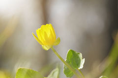 Small yellow flower blossom on meadow Stock Images
