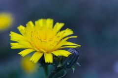 Small yellow flower on a blurred background Stock Images