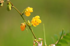Small yellow flower. On green shallow background Royalty Free Stock Images