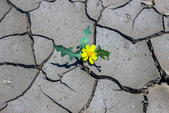 A small yellow flower growing from the cracks in the ground.  Te Royalty Free Stock Photos