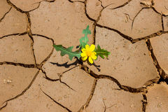 A small yellow flower growing from the cracks in the ground.  Te Stock Photography