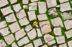 Small yellow flower growing between street tiles. Hope, life struggle and rebirth concept. Grow plant on the road. Small yellow flower growing between street royalty free stock image