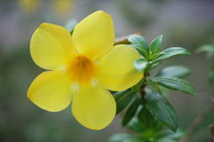 Small yellow flower. With many green leaves royalty free stock images