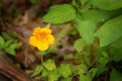 Small Yellow Flower Royalty Free Stock Photo